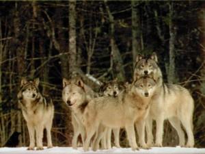 WOLVES-wolves-592575_1024_768