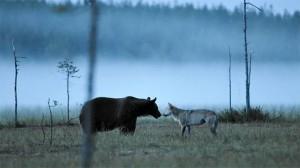 Bear-and-Wolf-Meet-800x449