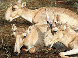 Saiga_Antilope